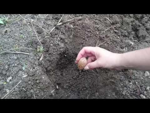 Как вырастить дуб из желудя в домашних условиях