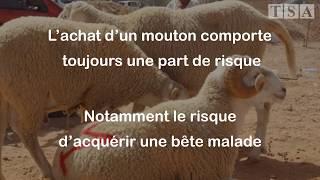 Aïd Al Adha : Comment choisir un mouton en bonne santé?