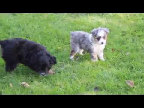 Mini Aussiedoodle Puppies for Sale