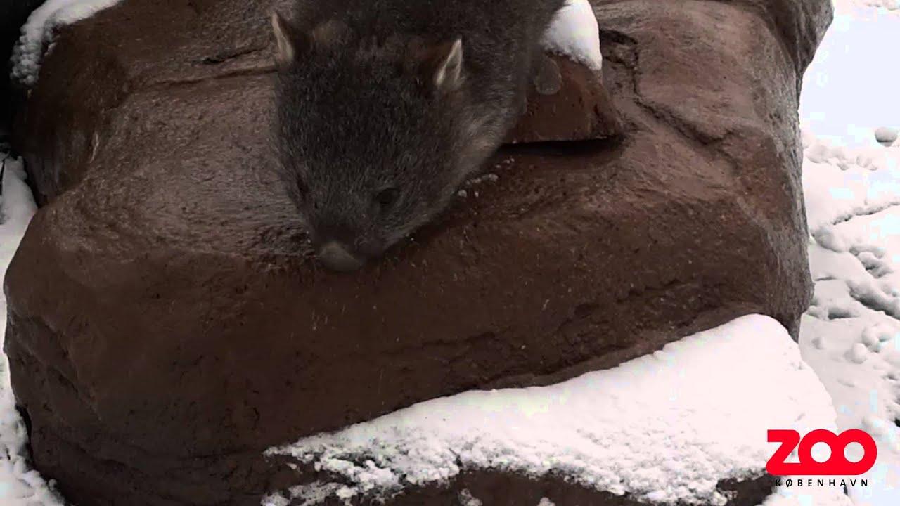 Vombats første møde med sneen | Copenhagen Zoo