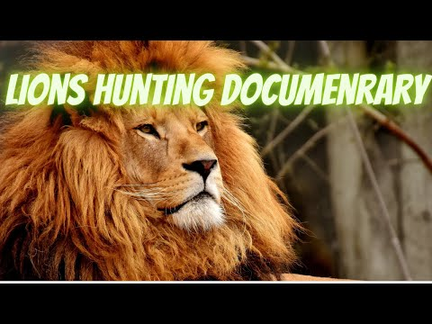 Lions Hunting Documentary, Lions attacking prey, Wild life Animals, National Geographic