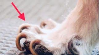 Вросшие когти у собак и кошек, почему врастают когти?