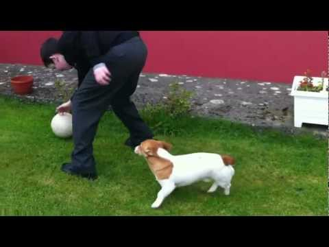 Hilarious jack russell terrier goes crazy running around after a ball