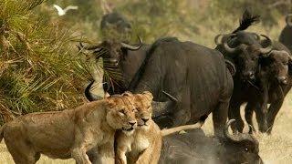 Сватка буйвола и льва!!!