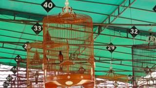 Lomba Burung Murai Batu Open | Launching BNR Sambas