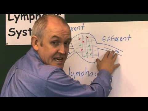 Lymphatic System 3, Lymph Nodes