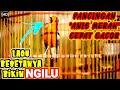 Pancingan Masteran Anis Merah Cepat Gacor Dan Teler Resolusi Full Hd  Mp3 - Mp4 Download