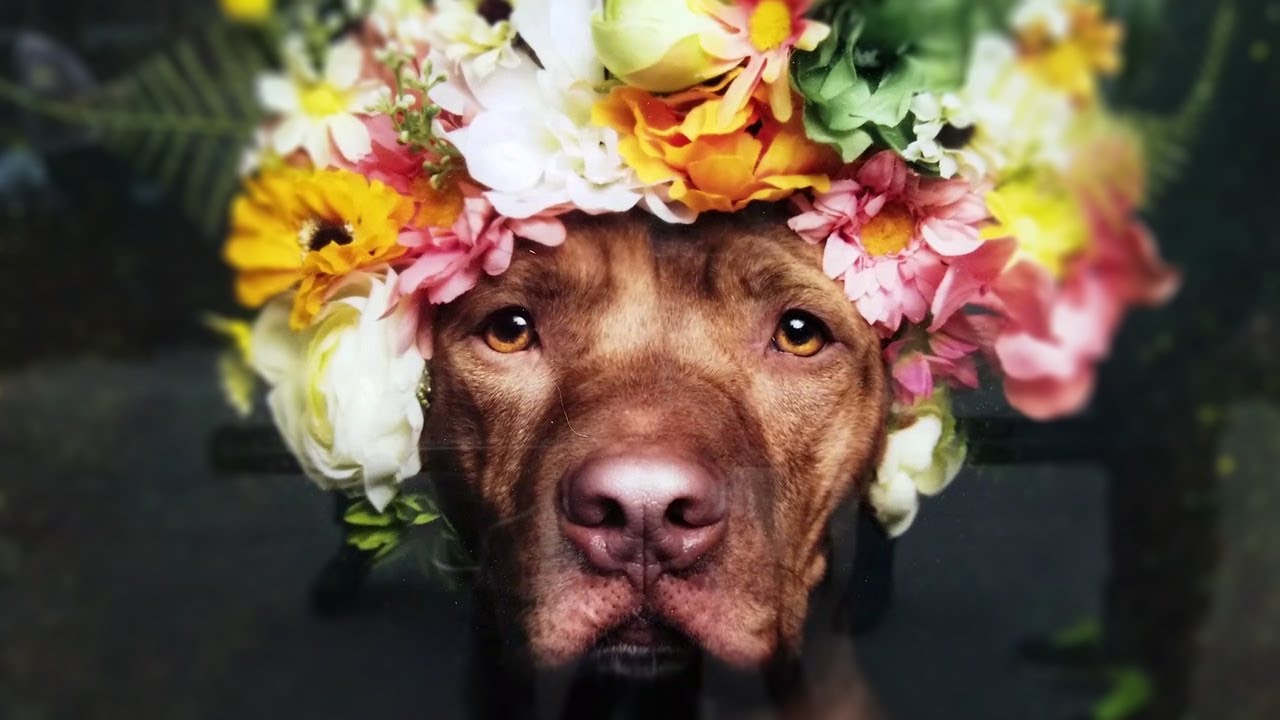 How Flower Crowns Are Breaking Stigmas Against Pit Bulls