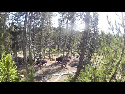 'Bison Freeway' on the Mary Mountain Trail in Yellowstone