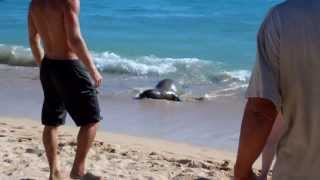 Hawaiian Monk Seal On Waikiki Beach (1 of 3)