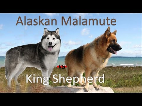 Alaskan Malamute Vs King Shepherd (Breed info and Comparison)