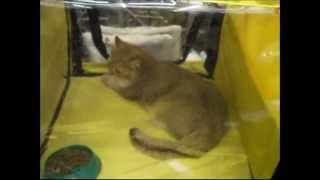Британская красавица на выставке кошек 2014 - британские кошки, британские котята редкой породы