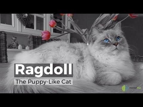 Ragdoll The Puppy Like Cat