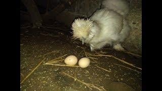 Pierwsze jajko silki.