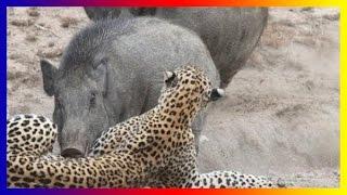 Wild Pig Attacks Lion Tiger Jaguar Dogs hunting...