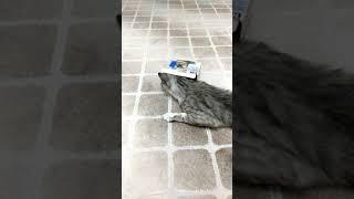 Kedi Şans küçücük kutuya girmeye çalışıyor :) #funny #cat #animal