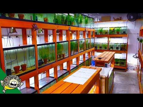 African Cichlid Fish Room Tour