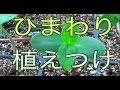 ♯01ひまわり 地植え 植えつけ の動画、YouTube動画。
