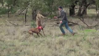 Дал по морде кенгуру , чтобы спасти  собаку