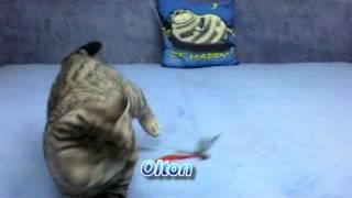 Британские котята окраса вискас (черное пятно на серебре)