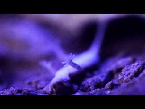 Strange behavior Tropiocolotes Steudneri