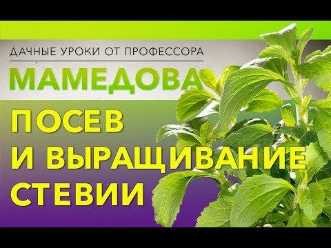 Посев и выращивание стевии.