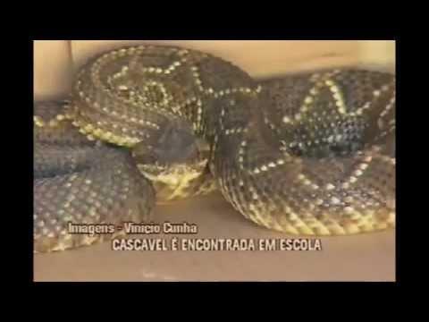 Cascavel é encontrada em escola em Varginha (TV Alterosa)