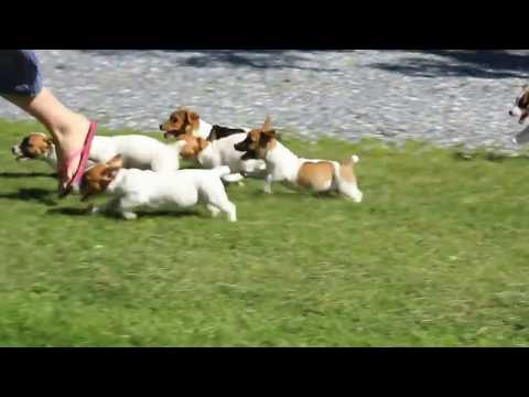 Jack russell terrier puppies for sale memphis