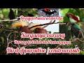 Bird Of Paradise Cendrawasih Surganya Burung Hutan Papua  Mp3 - Mp4 Download