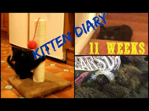 KITTEN DIARY (11 Weeks) - Sharp Claws, Pointed Fangs