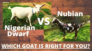 NIGERIAN DWARF GOATS, Why I LOVE this breed & YOU should TOO! NIGERIAN DWARF GOATS vs NUBIAN GOATS!?