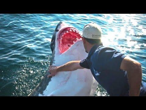 Fischer rettete den Weißen Hai - Er hätte nicht gedacht wie dieser ihm danken würde