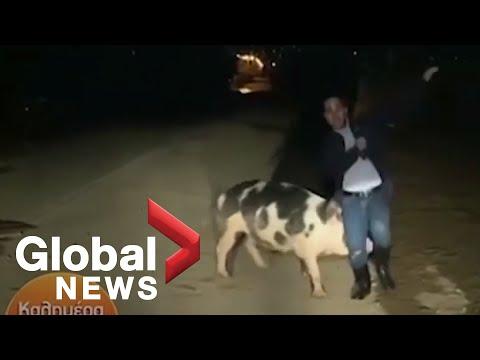 The JV Show - Large Pig Bites Journalist On Live TV
