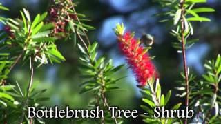 **Red Bottlebrush Plant**++Shrub++Hummingbirds, Butterflies & Bee Balm++