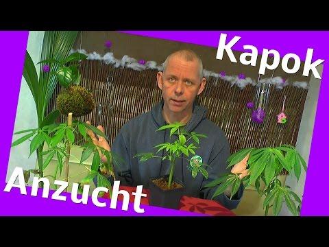 Exotische Pflanzen. Vom Samen zum Baum der Kapok Ceiba pentandra ein Tropenbaum
