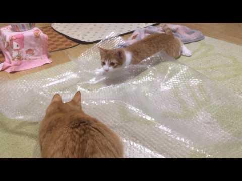 プチプチで遊ぶ猫『保護猫るる らら物語』