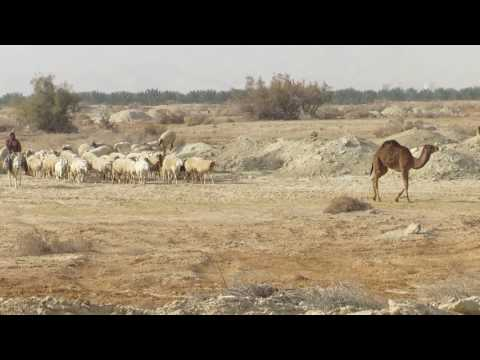 A biblical View - A flock of camels and sheep near Jericho, Judean Desert and the Dead Sea