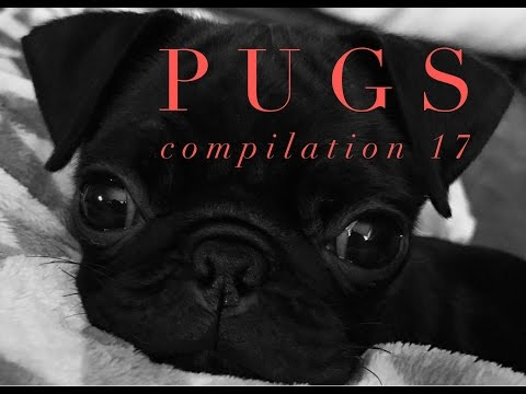Funny Dogs but only Pug Videos - Pug Compilation 17 | instapugs - Funny Animals