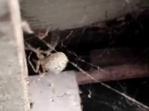 Big Barn Spider