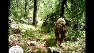 Vídeo exclusivo de El Jefe, el último jaguar salvaje de los Estados Unidos