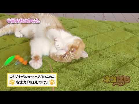 ネコぱら 今日のネコちゃん #12 ちょむすけくん