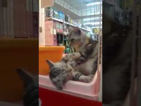 Image of: Compilation Funny Cat Video Funny Cat Videos Download For Whatsapp Youtube Funny Cat Video Funny Cat Videos Download For Whatsapp Youtube