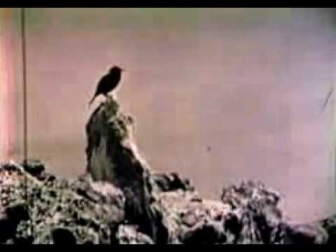 RARE FOOTAGE of the EXTINCT Laysan Honeycreeper ʻApapane - Only Video Ever Recorded - 1923