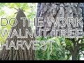 Do the Work, Walnut Tree Harvest