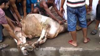 Mad cow in Mohammad pur Dhaka Bangladesh