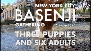 Three Puppies and Six Adults  New York City Basenji Gathering  30 August 2020