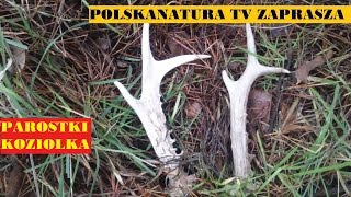 Zrzuty Koziołka 2015 + Poroże Parostki Koziołka Sarny Cz. 3