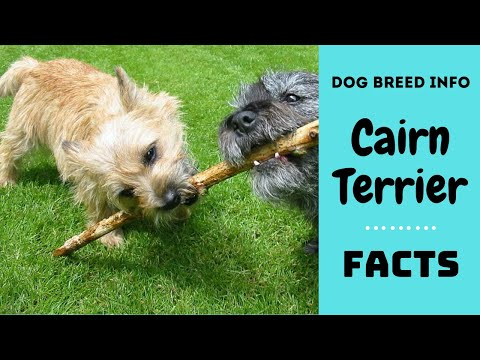 Cairn terrier dog breed. All breed characteristics and facts about Cairn Terrier dogs