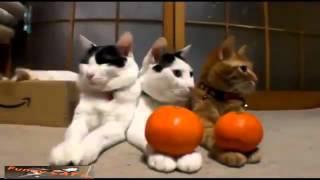 فيديو يجمع قطط تتكلم مع قطط تمارس اليوغا مع صراع القطط
