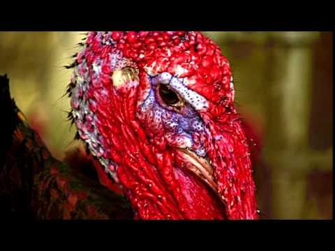 Turkey Gobble Ringtone Free Ringtones For Android MP3 Download